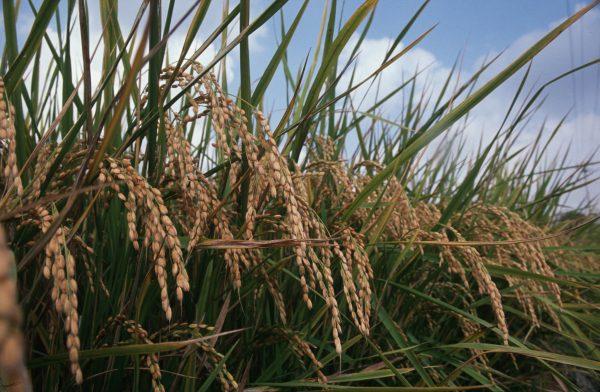 上新粉、白玉粉、もち粉のそれぞれに特性は原料の米と製法から生まれます